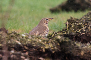 Song Thrush among the dung