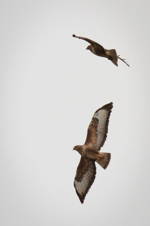 Buzzard Aerial Displays