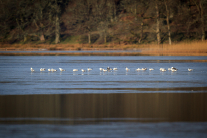 Gulls on an icy Lake of Menteith