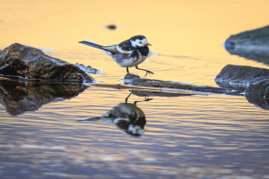 Pied Wagtail on the shores of the Lake of Menteith