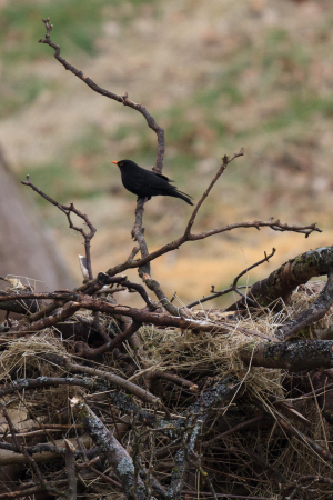 Male Blackbird collecting nesting material