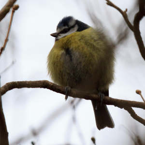 Puffed up Blue Tit