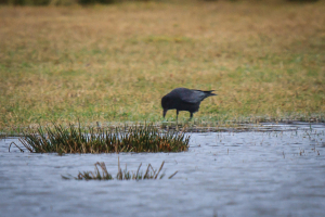 Carrion Crow hunting at the edge of flooding on farmland
