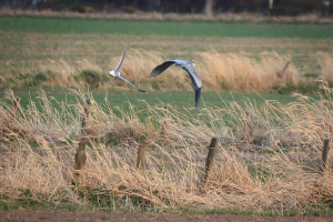 Grey Heron mobbed by Black-headed Gull