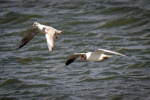 Black-headed Gulls fishing