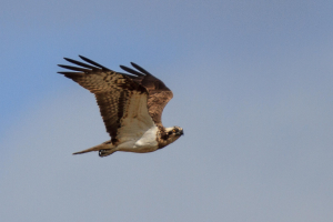 A Pair of Ospreys