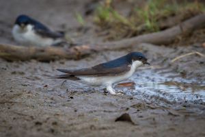 House Martin gathering mud