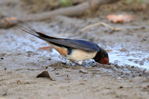 Swallow gathering mud