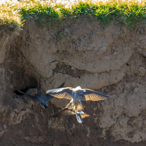 Sand Martins by the River Forth