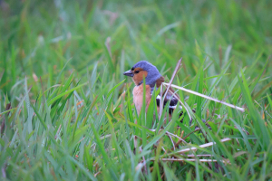 Chaffinch in flooded field