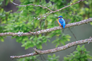 Kingfisher over the River Medway