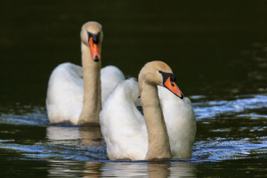 Mute Swans on the River Medway