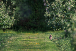 Rabbit in a Kentish Apple Orchard