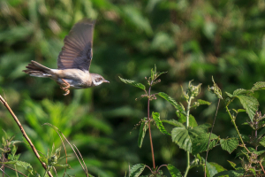 Whitethroat on the move