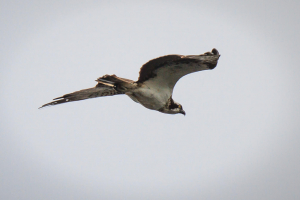 Osprey over the Lake of Menteith