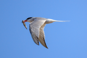 Common Tern with Sprat