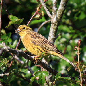 Yellowhammer with catch