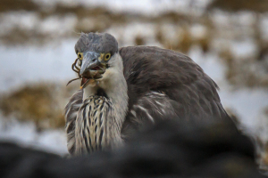 Grey Heron wrestling with a crab