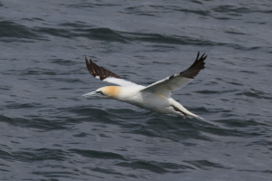 Gannet in the Sound of Mull