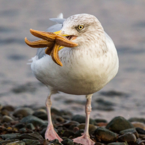 Herring Gull with catch