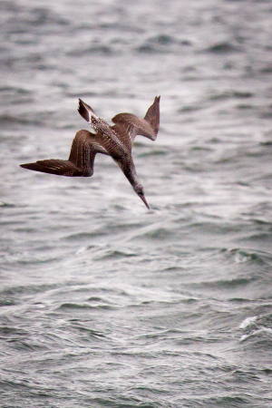Immature Gannet fishing