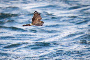 Female Hen Harrier over Scapa Flow