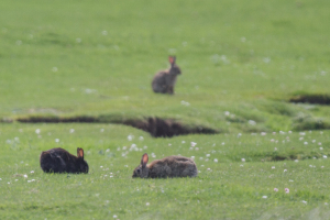 Black Rabbits in the Western Isles