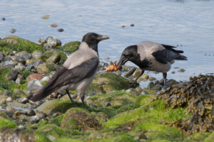 Hooded Crow with crab