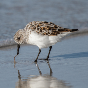 Sanderling with catch