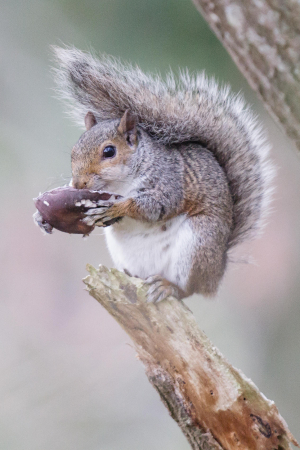 A Grey Squirrel tucking into a mushroom