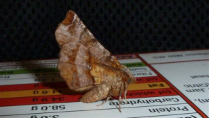 Lepidoptera sp.