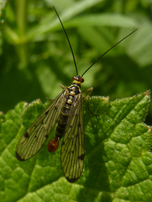 Scorpion Fly Winchester