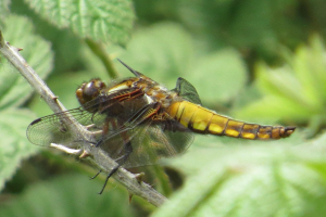 Broad-bodied Chaser (female?)