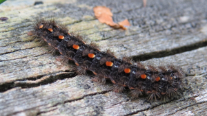 Footman caterpillar