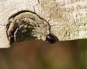 Is this a Kidney,Pine or 2 Spot Ladybird?