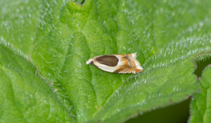 Unknown micro moth sp.