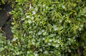 Many-fruited Thyme Moss?