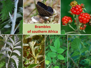 Brambles of Southern Africa