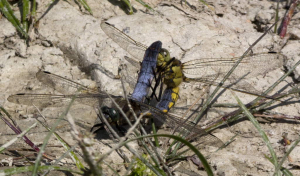 Black-tailed skimmers mating