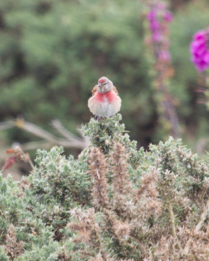 REDPOLL OR LINNET?