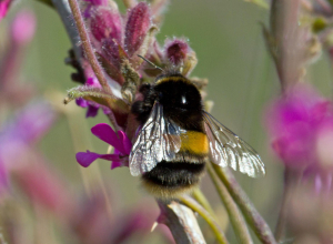 white tailed bee