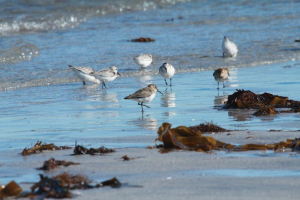DUNLIN FOREGROUND