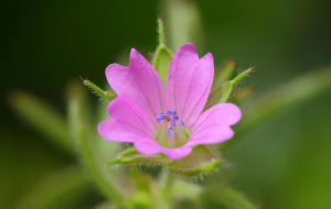 Cut-leaved Crane's-bill?
