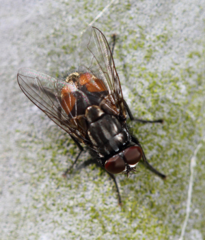 Diptera (Unknown)