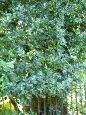 Holly Tree in Stanmer Park