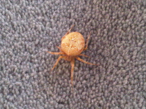 Household Spider, laden with eggs?