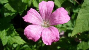 French Cranesbill