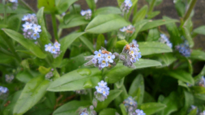 Creeping Forget-me-not