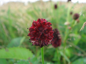 Great Burnet