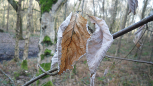 Common Whitebeam